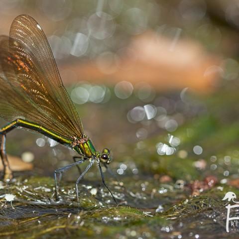 calopteryx-vierge_02082013_mg_0966
