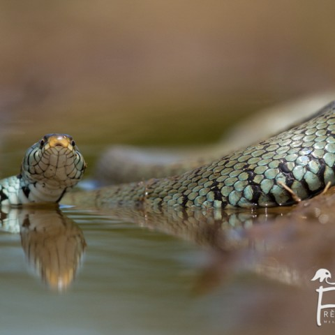 couleuvre-a-collier_06062014-8995