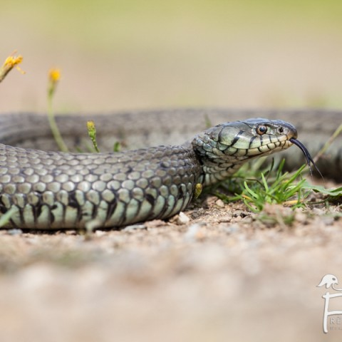 couleuvre_a_collier_01082014-5