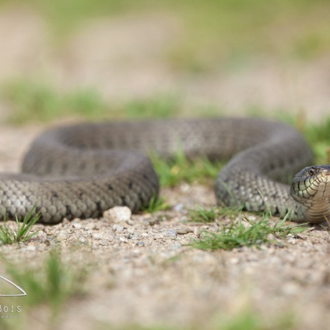 couleuvre_a_collier_01082014-9