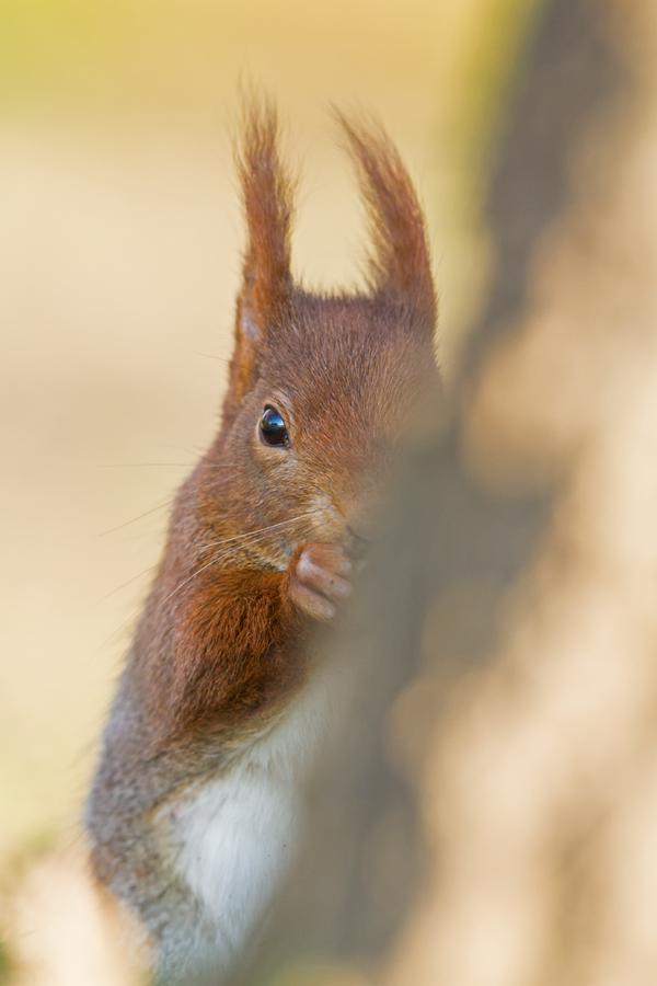 ecureuil-roux_mg_4324