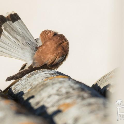 faucon-crecerellette_fdb_1039