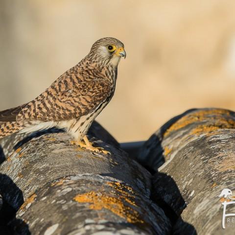 faucon-crecerellette_fdb_1161