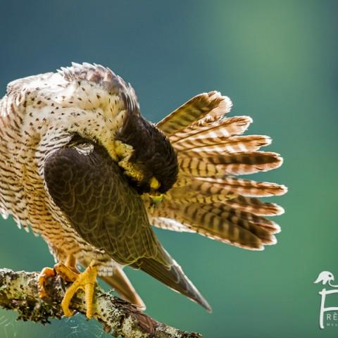 faucon-pelerin_mg_8300