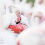 flamant-rose_fdb_3467
