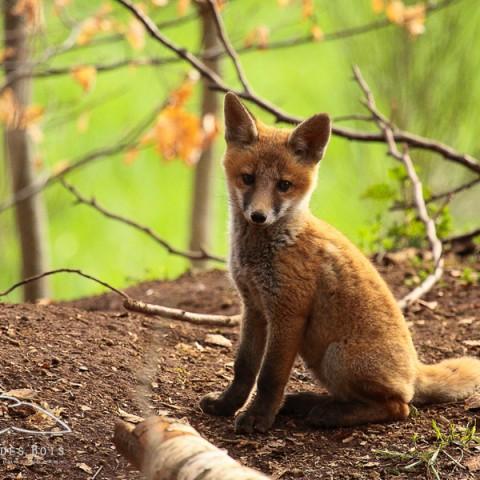 renard-roux-2