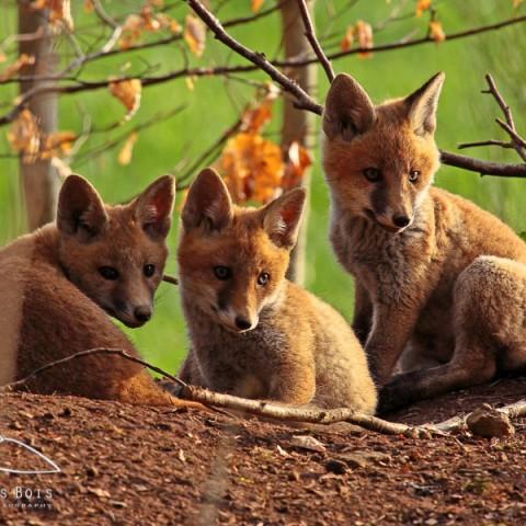 renard-roux-8
