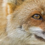 renard-roux_fdb_1286